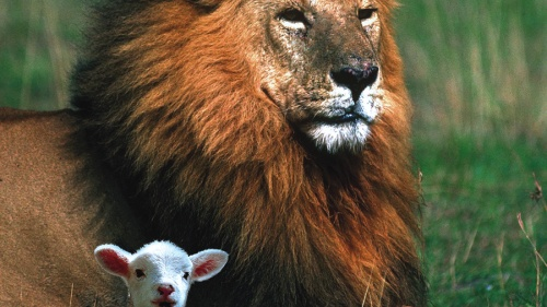 A lion and a lamb beside each other.