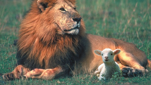 Lion and lamb laying beside each other.